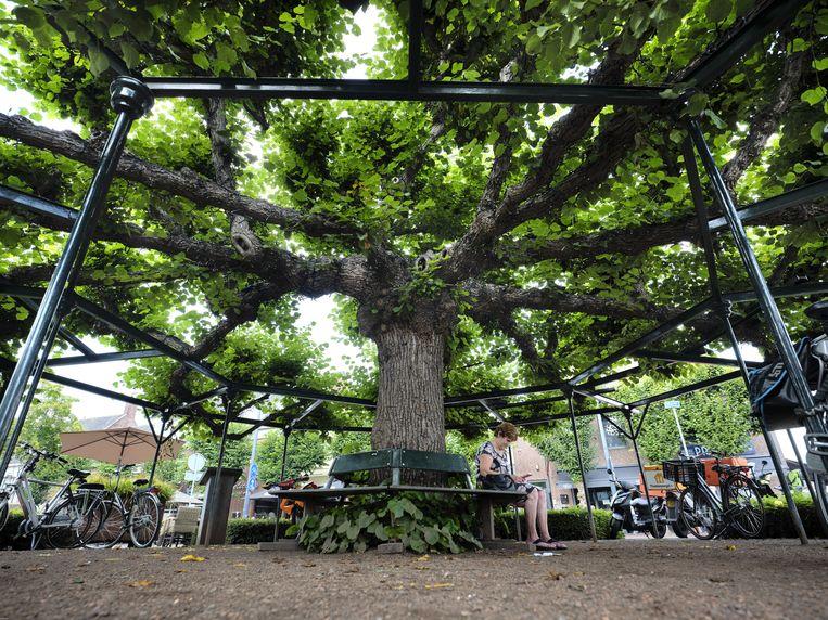 Moeierboom Beeld Mark Kohn