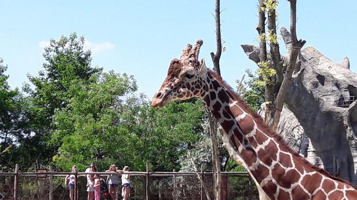 Het slachtoffer, giraffemannetje Banio.