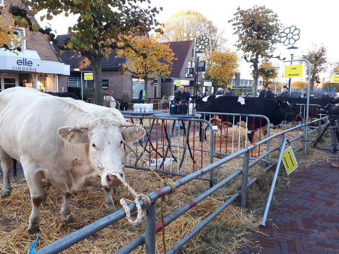 De koe is in race voor titel 'mooiste koe'.