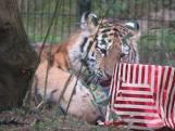 Purrende tijgers en olifanten met pretogen openen kerstkado's in Beekse Bergen