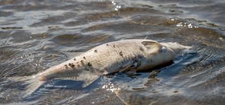 Vis sterft massaal in de Ewijkse Plaat