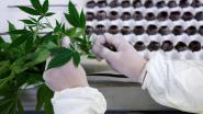 Geen bewijs dat cannabis kanker geneest