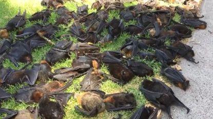 Vleermuizen bezwijken massaal onder Australische hitte: ze koken letterlijk dood