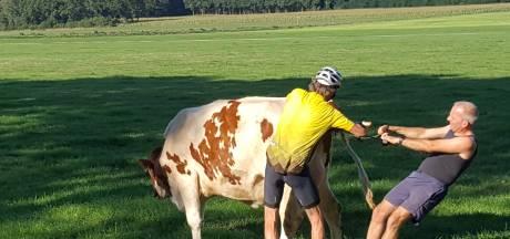 In je wielertenue een koe helpen bevallen: oud-dierenarts Jaap deed zijn plicht