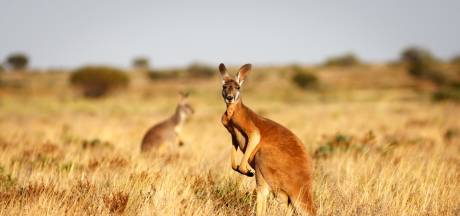 Les kangourous peuvent communiquer avec les humains