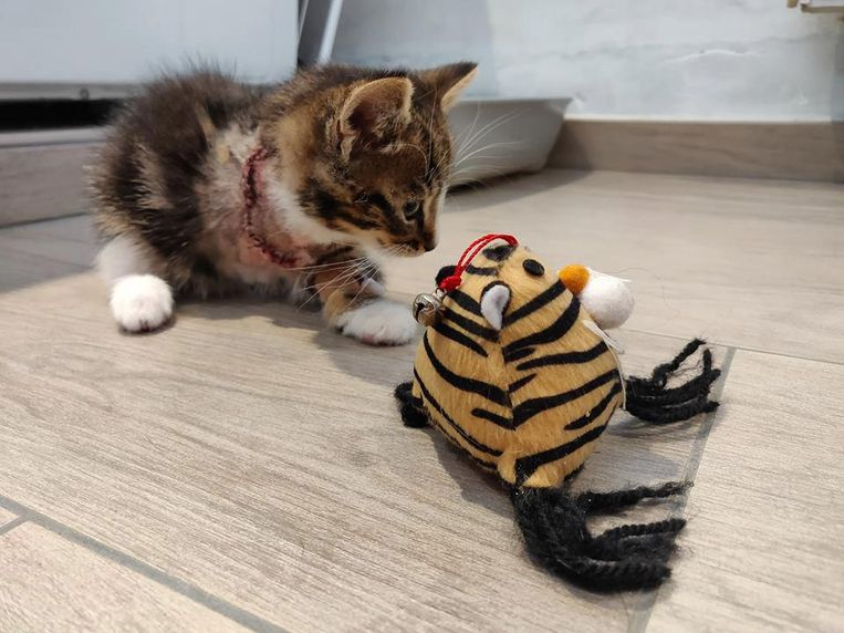 Het katje herstelt van de ingreep, maar kan alweer spelen.