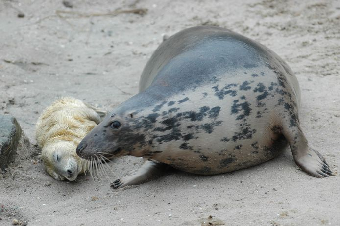Een grijze zeehond met pup.