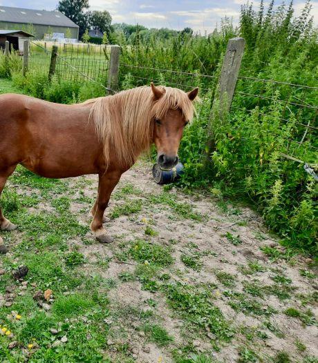 Inspecteur laat pony vanwege ondraaglijke pijn afmaken door dierenarts in Neder-Betuwe