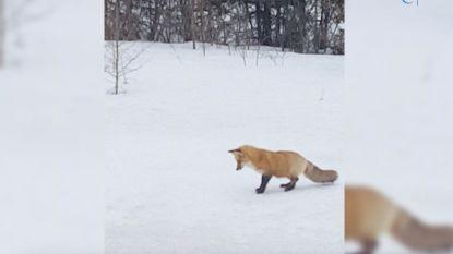 Deze vos heeft een bijzondere jachttechniek