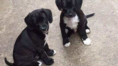 Vermiste puppy's Black en Jack nog steeds niet terecht