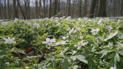De lente is begonnen:  de bosanemonen bloeien