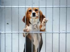 Honderden hondjes sterven jaarlijks als proefdier, Charles River in Den Bosch blijkt grootste gebruiker