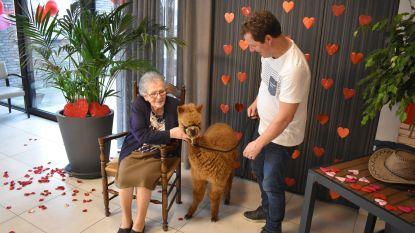 Valentijn in WZC Kartuizerhof: Bewoners knuffelen alpaca's