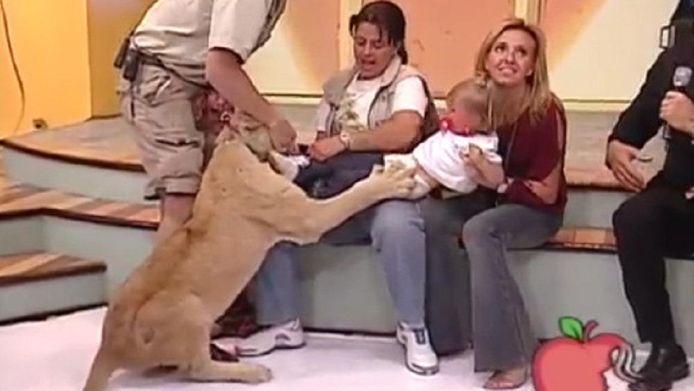 Terrifiée, l'enfant a évidemment éclaté en sanglots alors que sa maman tentait de l'extirper des griffes du lion.