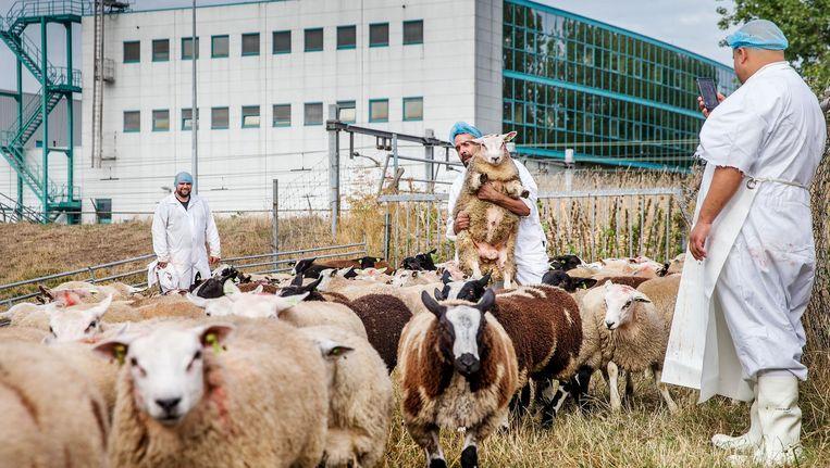 De duizend schapen en lammeren die worden geofferd staan op de dijk achter het slachthuis Beeld Jean-Pierre Jans