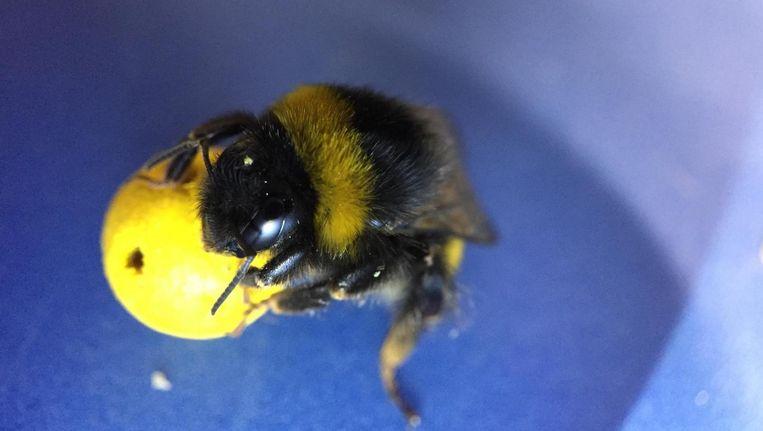 Bij het Britse experiment werd bijen geleerd om een klein balletje naar het midden van een rond platform te rollen. Beeld
