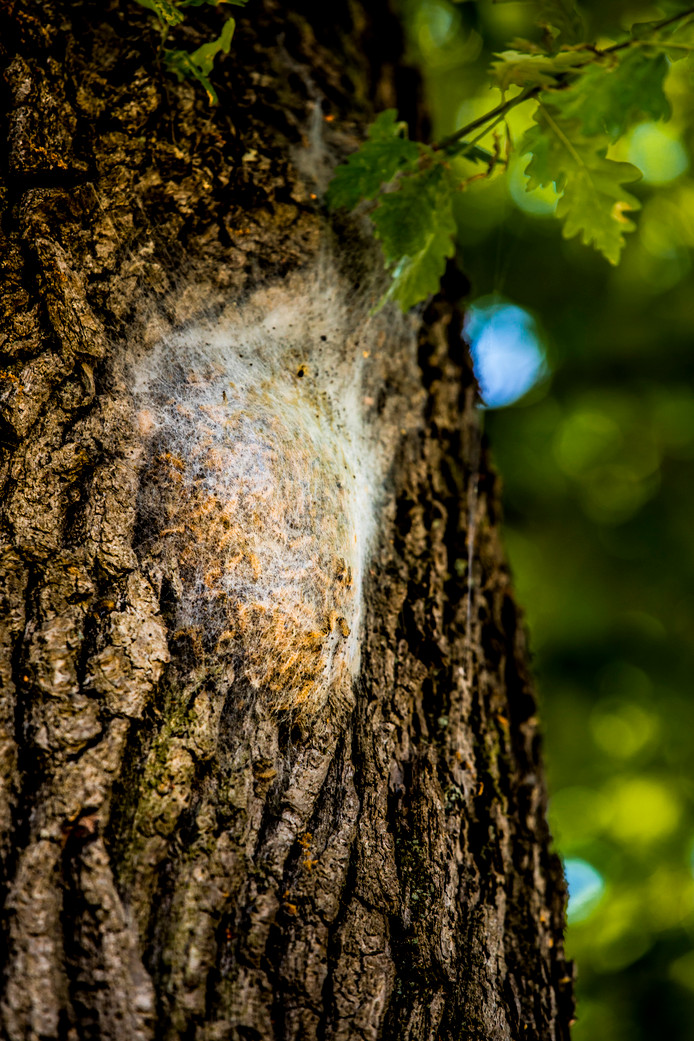 Een nest met de eikenprocessierups.