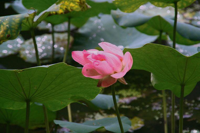 Lotusbloemen floreren in ons klimaat zelfs beter binnen dan buiten.