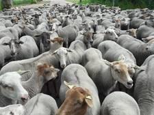 VIDEO: Bijzonder tafereel in de Reeshof: 250 schapen op straat
