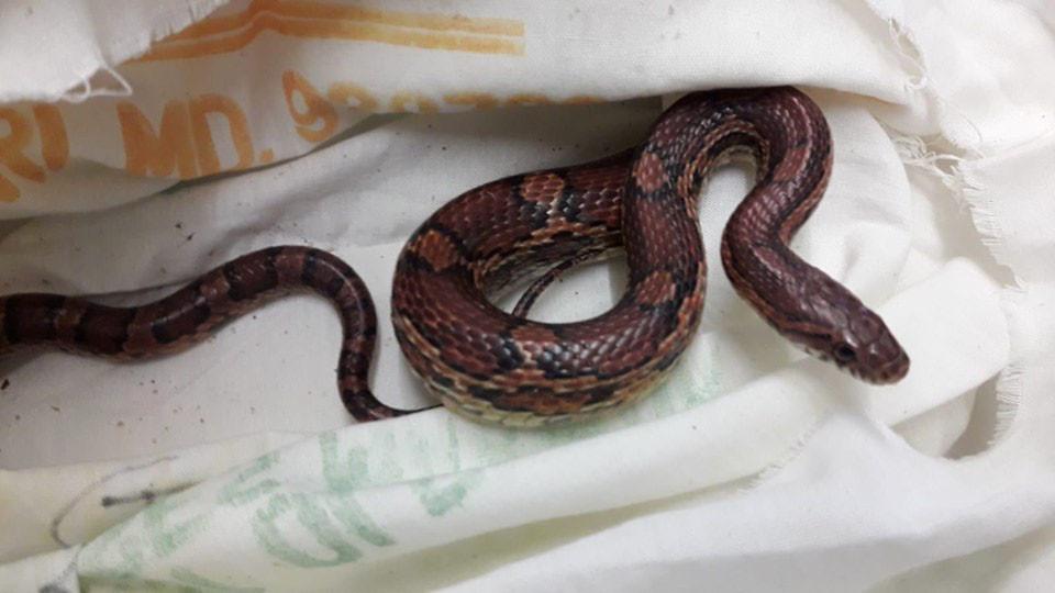 De rode rattenslang die werd gevonden in het Nollebos.