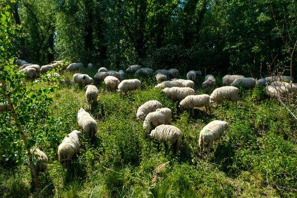 De kudde schapen graast opnieuw aan de steile bermen in de Kwaede Wielstraat.