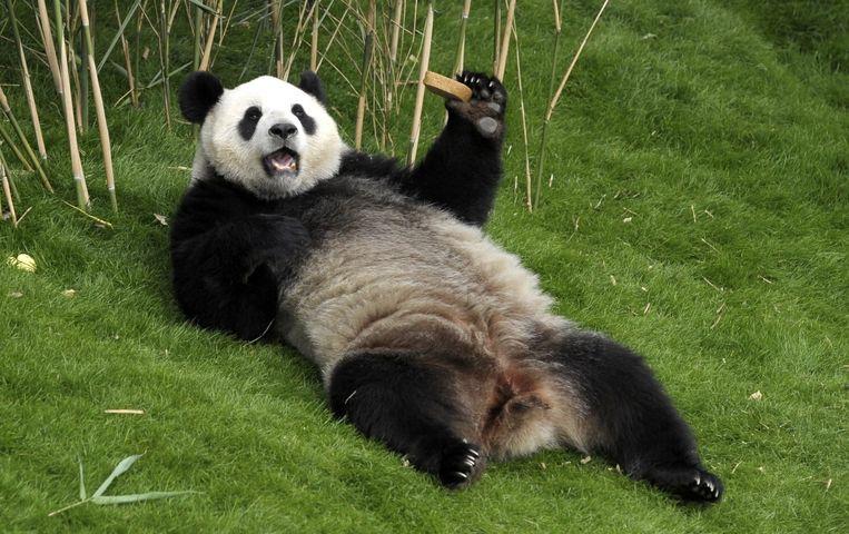 Pandavrouwtje Hao Hao in een dierentuin in België Beeld epa