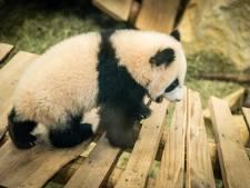 Babypanda Fan Xing voor het eerst te zien voor publiek: 'Hij ligt alleen maar te maffen'