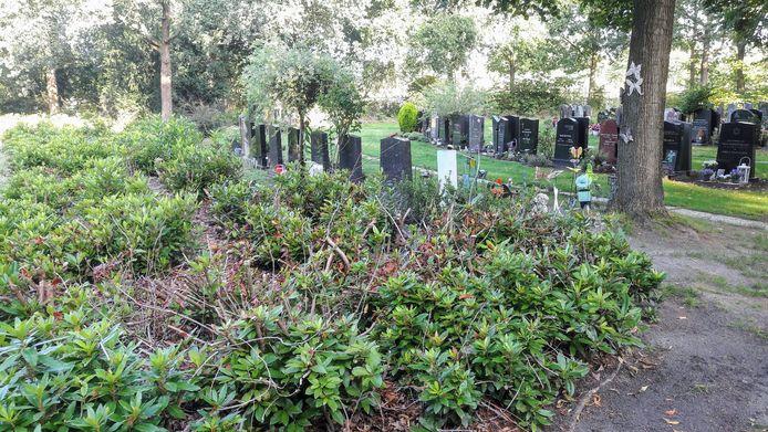 Droogte 2018 in Tilburg: de fors gesnoeide rododendrons op de begraafplaats aan de Hoflaan beginnen langzaam weer te groeien maar het duurt nog jaren voordat ze weer hun 'sierwaarde' terug hebben.