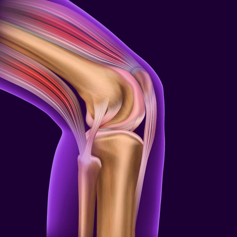 Het kniegewricht, het kraakbeen is roze gekleurd. Beeld Colourbox