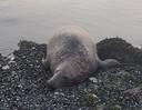 De laatste uren van de zeehond.