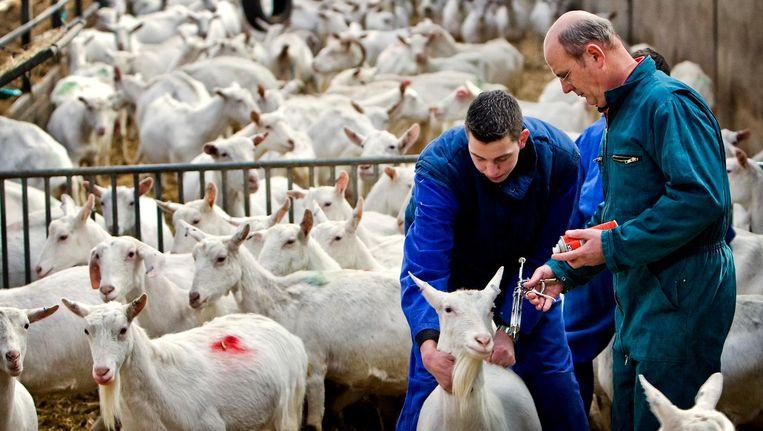 Geiten op een boerderij in Groningen krijgen een inenting tegen Q-koorts. Beeld anp