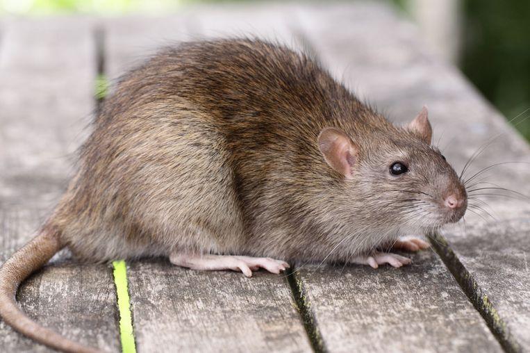 De bewoners van Noeveren wonen al jaren geteisterd door ratten.