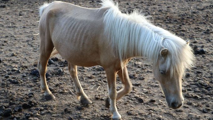 2.400 euro boete voor houden van te magere pony's