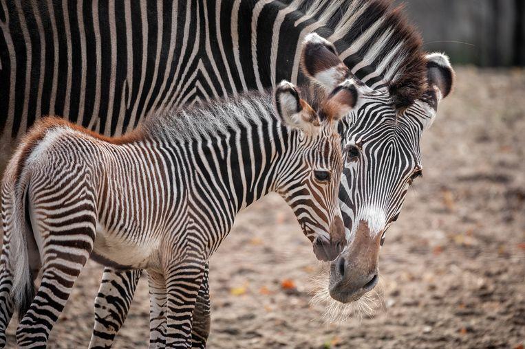 Tamu zebra