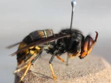 Invasion de frelons asiatiques: les scientifiques ont besoin de vous