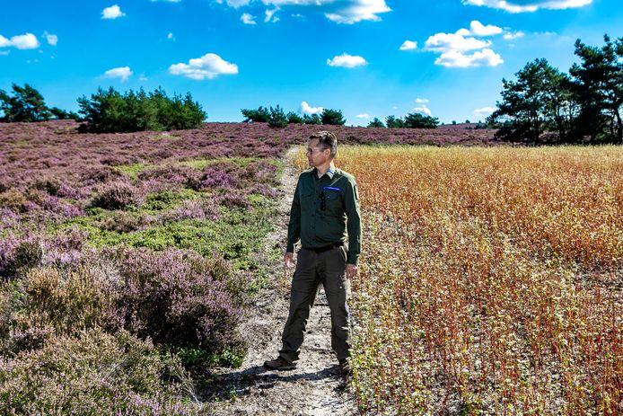 Jos Schouten, boswachter van Natuurmonumenten, tussen de splitsing van twee landschappen. Rechts de kunstmatige akker, links de paarse hei.
