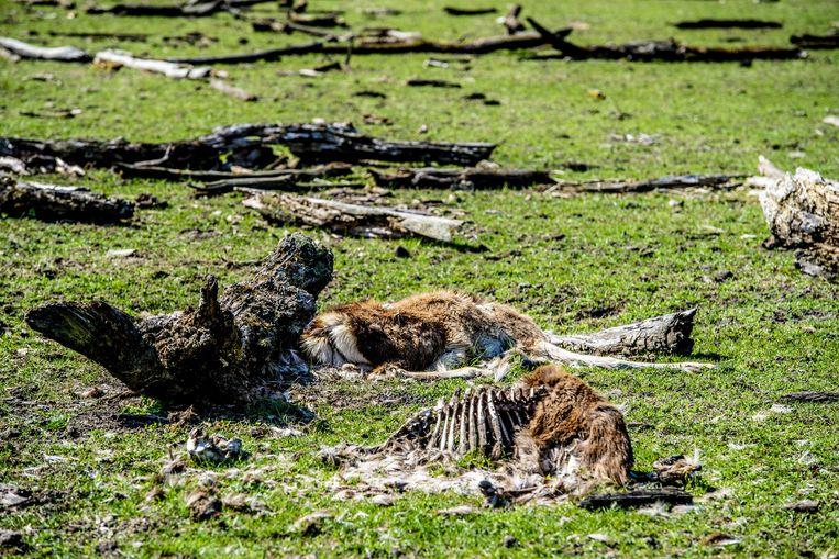 Afgelopen winter bezweken in de Oostvaardersplassen duizenden dieren omdat er niet werd bijgevoederd.