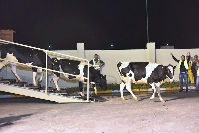 De Hongaarse koeien komen aan in Qatar. Beeld AFP