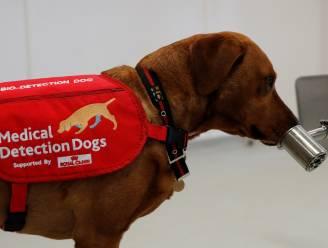 """""""Covid-19 heeft een geur"""": deze snuffelhonden kunnen het coronavirus detecteren"""