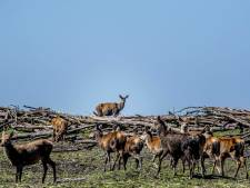 Minister: Praktische oplossing zoeken voor boswachters die weigeren gezonde herten te doden