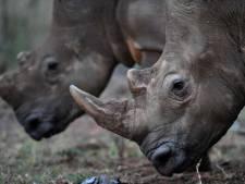 Grote partij neushoornhoorns in beslag genomen