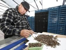 Deze 200.000 cocons van metselbijen gaan de koelkast in, om in het voorjaar ingezet te worden bij het bestuiven