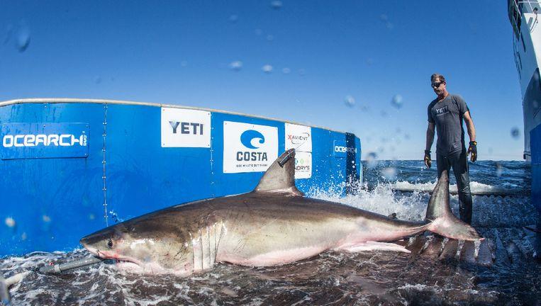 De wetenschappers van Ocearch vangen zeedieren waaronder de witte haai, en chippen ze. Daarna worden de dieren terug vrijgelaten.