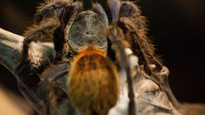 Vogelspinnen overspoelen westen VS in paartijd, met gevaar voor eigen leven