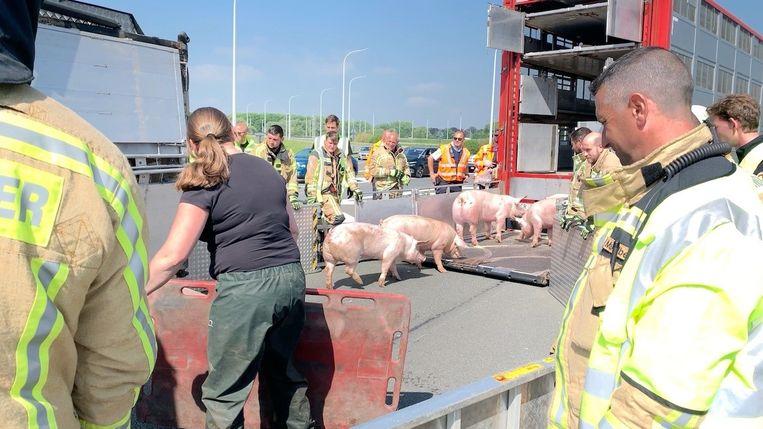 De brandweer laadt de varkens één voor één over in een andere truck.