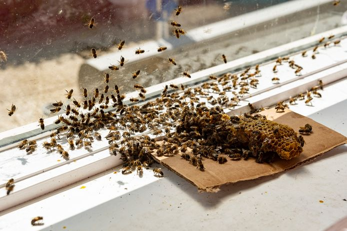 Een stuk honingraat wordt gebruikt om de verdwaalde bijen te lokken, verzamelen en naar buiten te brengen.