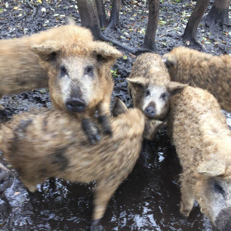 Hongaarse wolvarkens (biggen). Beeld null