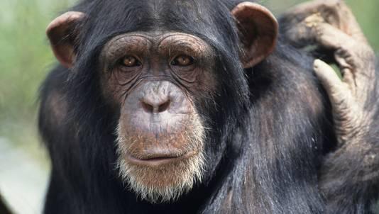 Het gevonden exemplaar wordt vergeleken met een chimpansee maar dan met kleinere hersenen. ©Thinkstock