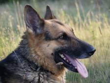Celstraf voor man die stiefzoon (11) liet aanvallen door honden