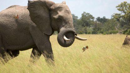 Te veel olifanten, dus mogen ze neergeschoten worden
